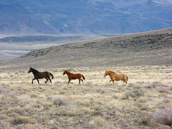 Wild horses near Mud Meadows, Nevada.